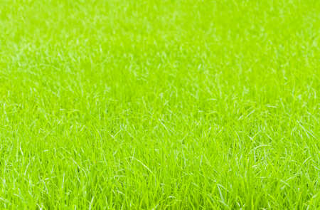 bright green grass background image with focus on foreground