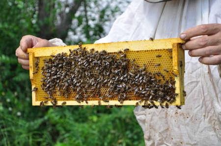 ambrosia: apiarist tiene l'alveare con le api Archivio Fotografico