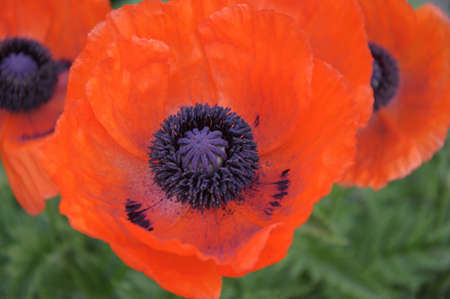 oriental poppy: Papaver orientale or Oriental poppy is a perennial flowering plant native to the Caucasus, northeastern Turkey, and northern Iran