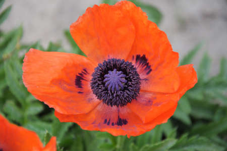 northeastern: Oriental poppy is a perennial flowering plant native to the Caucasus, northeastern Turkey, and northern Iran