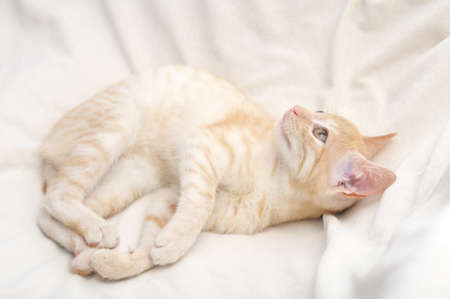 miaul: Ginger yellow cat lying on beige blanket