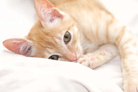 miaul: Ginger cat portrait lying on beige blanket