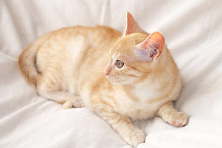 miaul: Ginger fawny cat lying on milky blanket