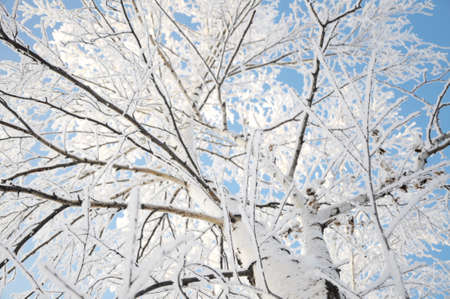 body scape: birch tree crown in winter snow hoarfrost