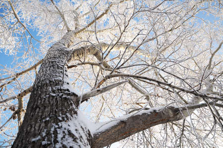 body scape: poplar tree crown in winter snow hoarfrost Stock Photo