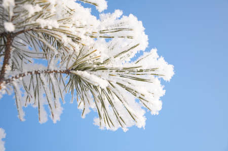 firtree branch in winter snow hoarfrost sky background photo