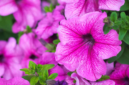 anthesis: petunia stripy pink flowers  in the garden