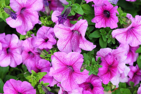 anthesis: Pink petunia flower plants in the garden