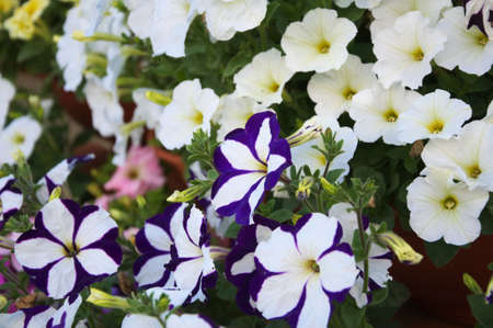 anthesis: Color petunia flower plants in the garden