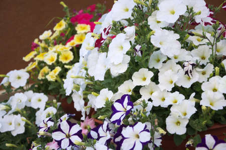 anthesis: Colored petunia flower plants in the garden