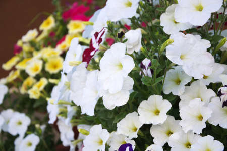 anthesis: White petunia flower plants in the garden