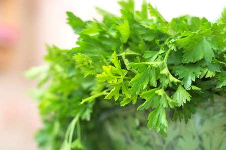 folliage: Green fresh parsley leaves