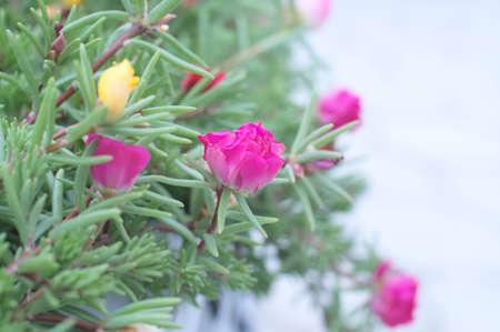 folliage: portulaca pink flower bud in its folliage