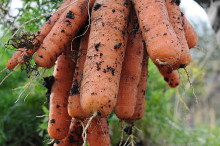 Gross carrot harvest bunch just pulled out