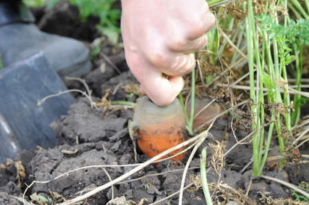 dungy: Grabbing carrot from the ground by hand Stock Photo