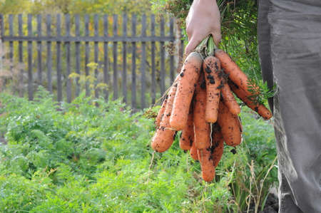 Farmer holding carrot bunch on garden background Archivio Fotografico