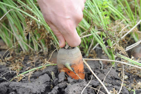 dungy: Pulling out carrot from the ground on garden bed