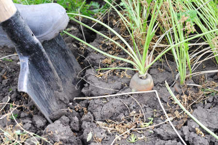 carrot spading from the ground with shovel