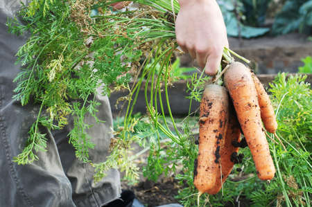 dungy: Farmer holding carrot bunch from garden bed Stock Photo