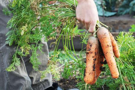 granger: Farmer holding carrot bunch from garden bed Stock Photo