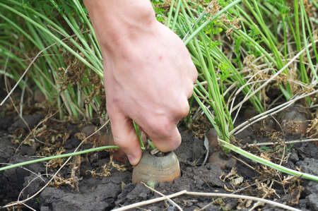 dungy: Hand gathering carrot harvest from the ground Stock Photo