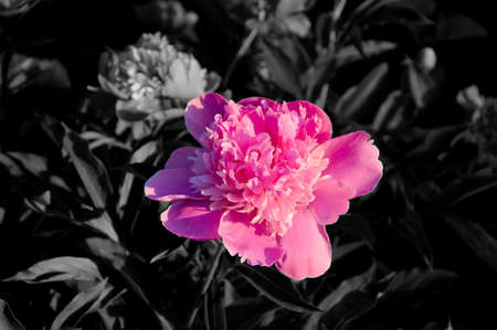separated: Separated pink peony flowers in grey environment