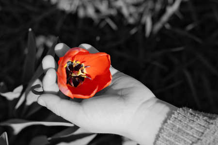 red tulip: Red tulip flower in black-and-white child hand