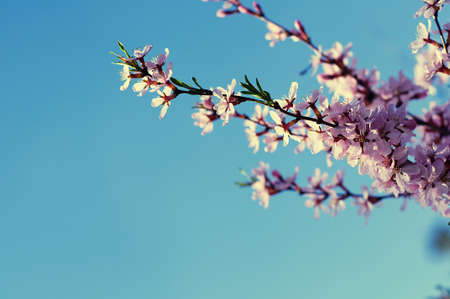 florescence: Spring Cherry tree flowers florescence, flowering and blossoming Stock Photo