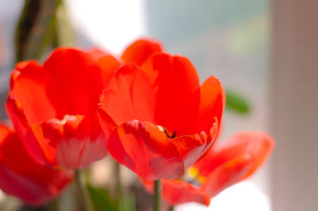 explicitly: Red tulips flowers in bouquet on windowsill