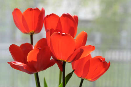 Several blossoming red tulips flowers in bouquet Stock Photo