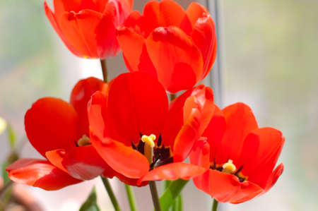 Red tulips flowers in bouquet on windowsill