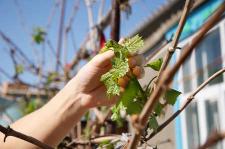 increase fruit: Grape plant foliage  in the hand of farmer