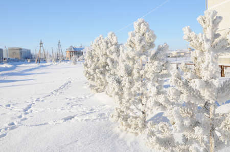 shiny day: winter background with snow covered fir trees,  snowy shiny day, wintry scene with frost Stock Photo