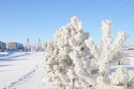 shiny day: Snow covered fir trees, winter background, snowy shiny day, wintry scene with frost