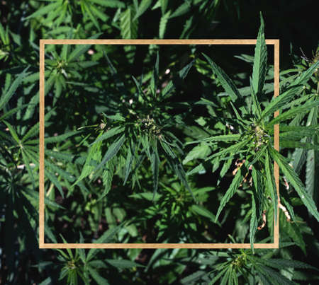 Border of green cannabis leaves on a black background. Medical marijuana. Isolated black copy space for text.