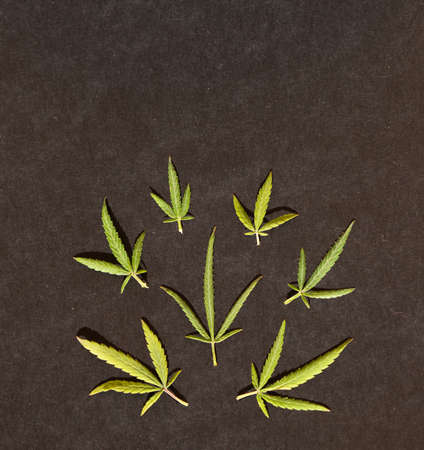 Pattern of different leaves of marijuana and hemp on a black background. Flat lay. Cannabis plant background