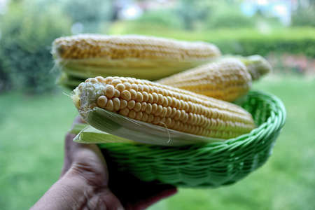 corn is the main food that grows in many regions. It is consumed very much. The fresh corn is delicious for the food, and it is beautiful for the photo.
