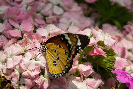multicolored beautiful elegant butterfly monarch