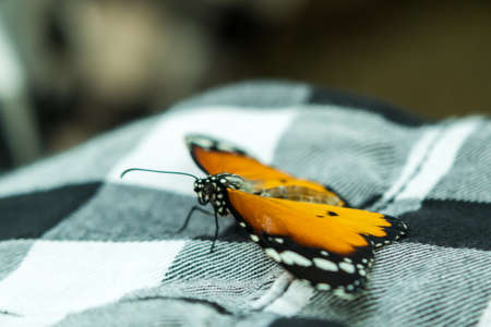 Multicolor Beautiful Elegant Butterfly Monarch on Shirt Stock Photo