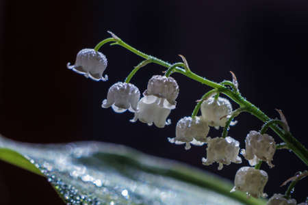 lily of the valley with raindrops Stockfoto