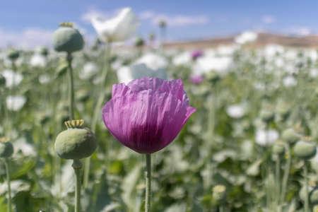 campo de alcaloides del opio planta de amapola y floración. Es importante en la industria farmacéutica y su cultivo es limitado. Foto de archivo