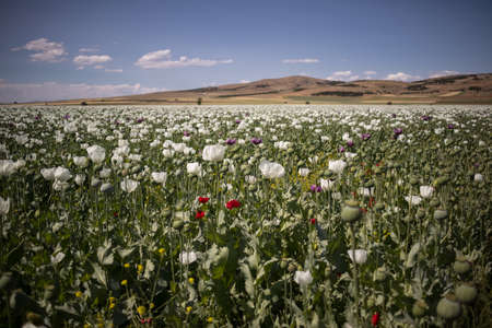 field of opium alkaloids poppy plant and flowering. It is important in the pharmaceutical industry and its cultivation is limited.