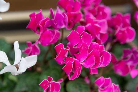 most beautiful flower in winter, cyclamen flower.