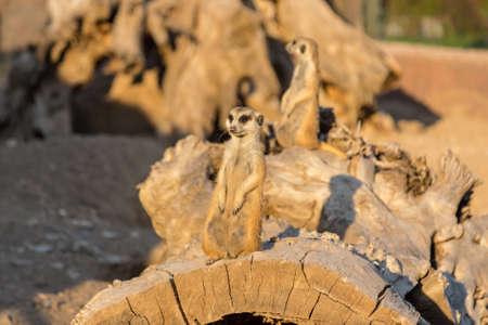 cute meerkats looking around