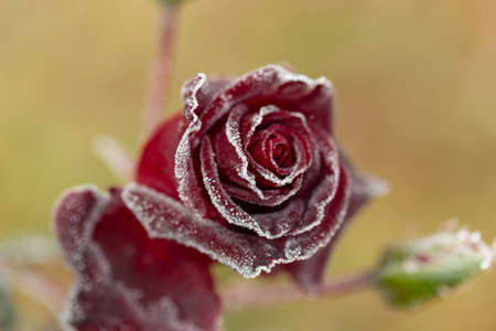 gorgeous roses that become more beautiful with dew in the autumn morning, 스톡 콘텐츠