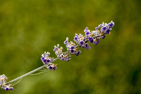 lavender branch with frozen dew grains, natural and colorful Stok Fotoğraf