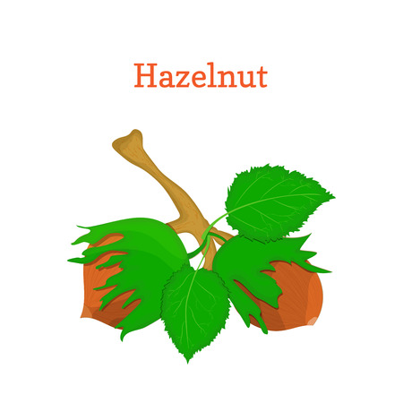 hazel nut: Vector illustration of hazelnuts. Branch hazel nut tree with with leaves. Filbert nuts can be used as packaging design element chocolate,, muesli, printing brochures on healthy and vegetarian diet Illustration