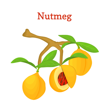 nutmeg: Vector illustration of a nutmeg. Branch nutmeg tree with three yellow fruits and green leaves on white background. it can be used as spice packaging design element, printing brochures vegetarian diet Illustration