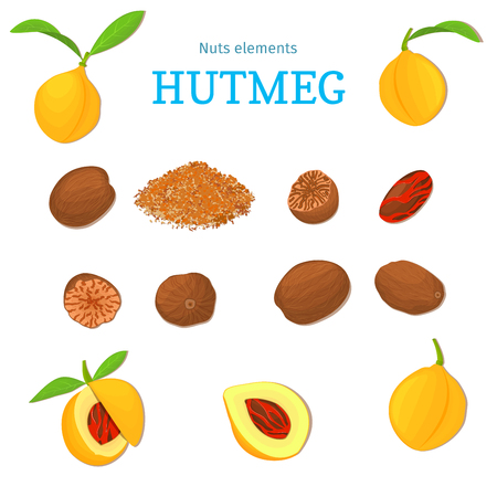 Vector set of nuts. Nutmeg spice fruit, whole, peeled, piece of ground half leaves. Designer of nuts nutmeg elements for use in the packaging design projects flyer healthy eating