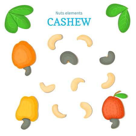 Vector set of nuts. Cashew nut fruit, whole, peeled, piece of half, walnut in shell, leaves. Collection of cashewnut nuts designer elements for use in packaging design projects flyer healthy eating